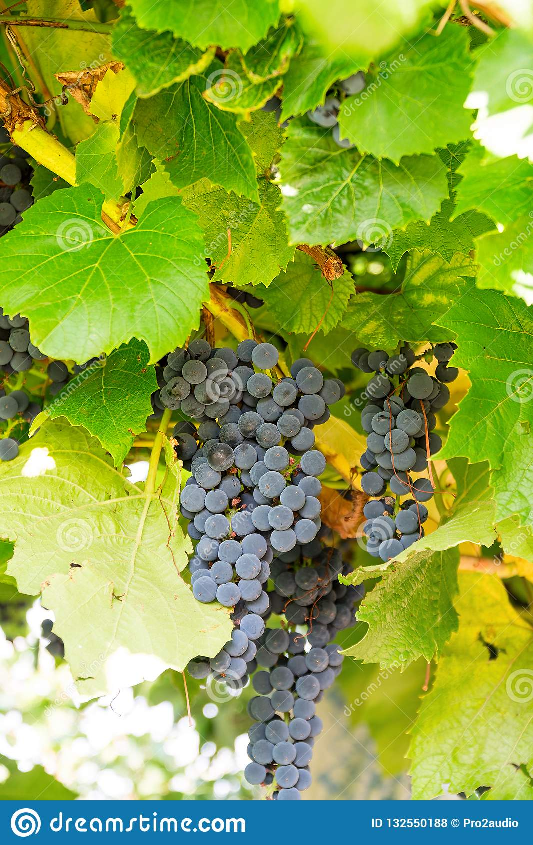 Mazzo di uva lilla in vigna