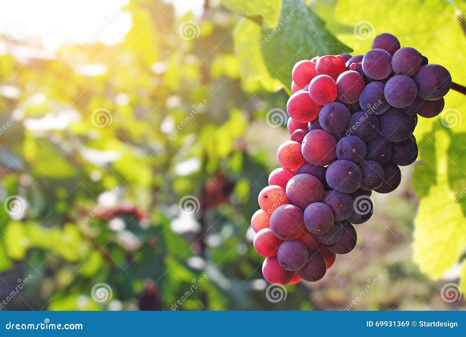 Mazzo di uva rossa