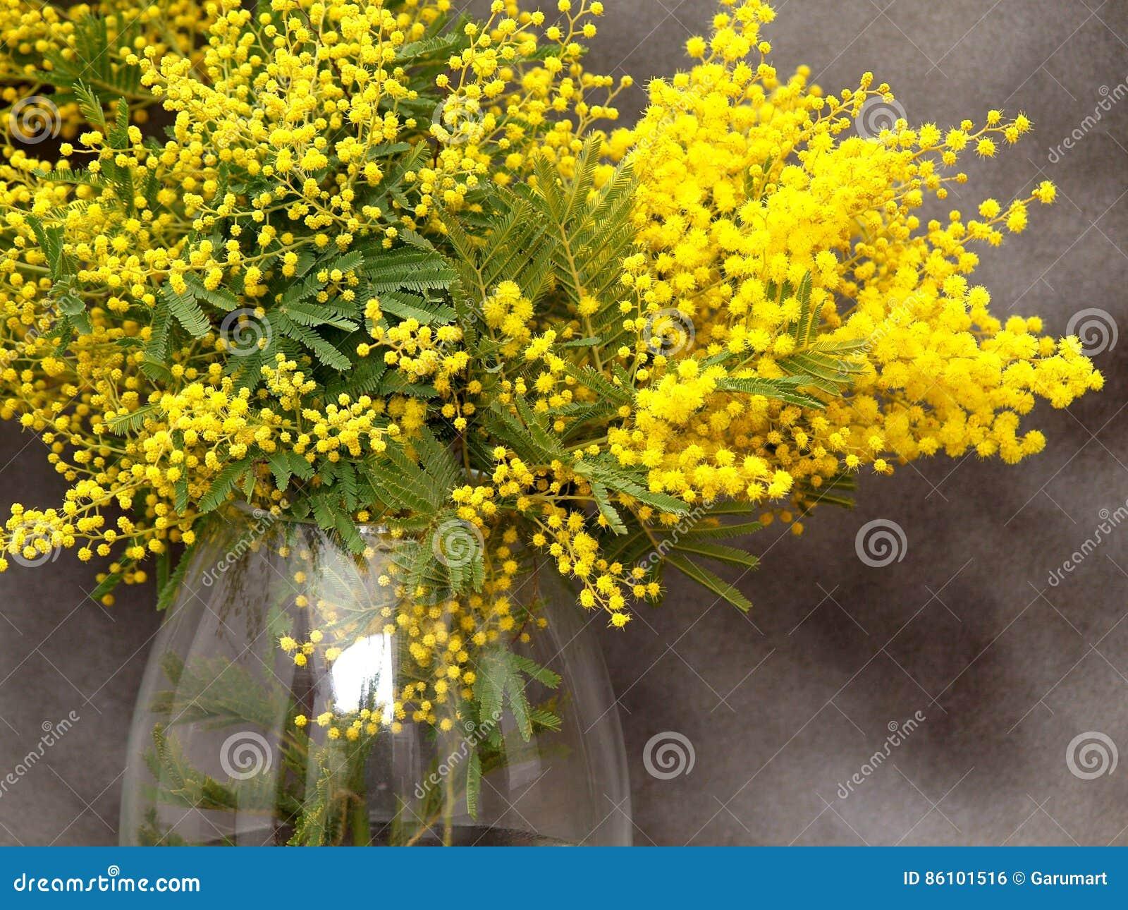 Mazzo splendido della mimosa in vaso fotografia stock for Mimosa in vaso