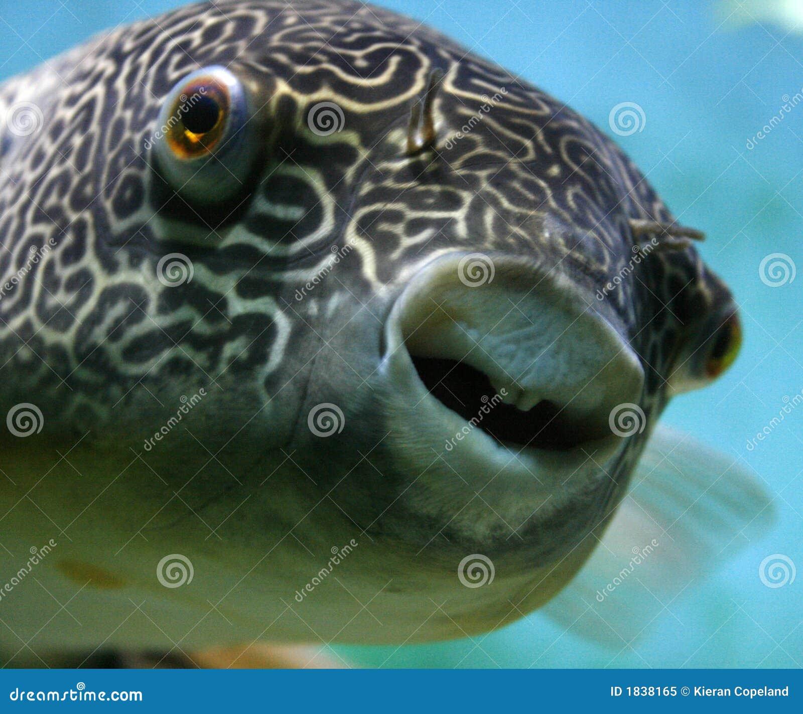 Mbu Pufferfish Royalty Free Stock Photo Image 1838165