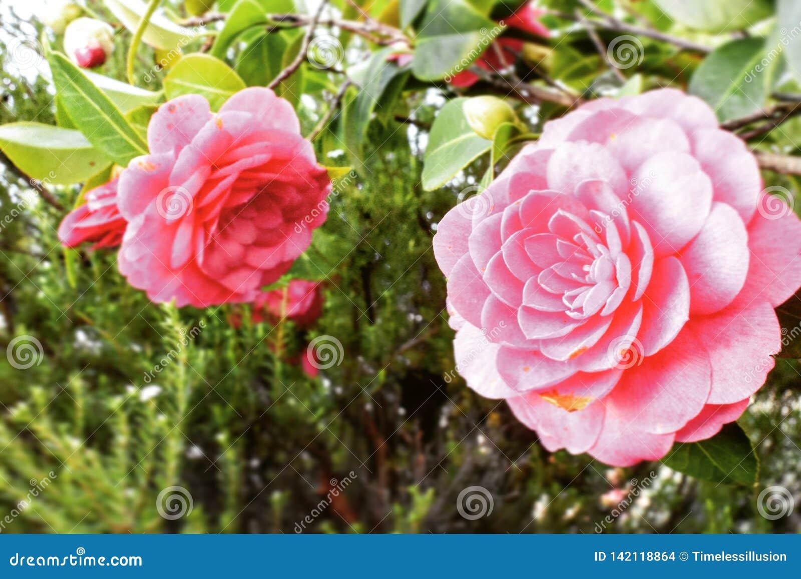 Âme d une fleur rose