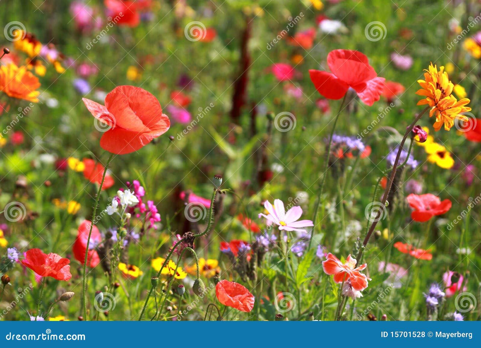 Download Meadow stock photo. Image of poppy, meadow, orange, flower - 15701528