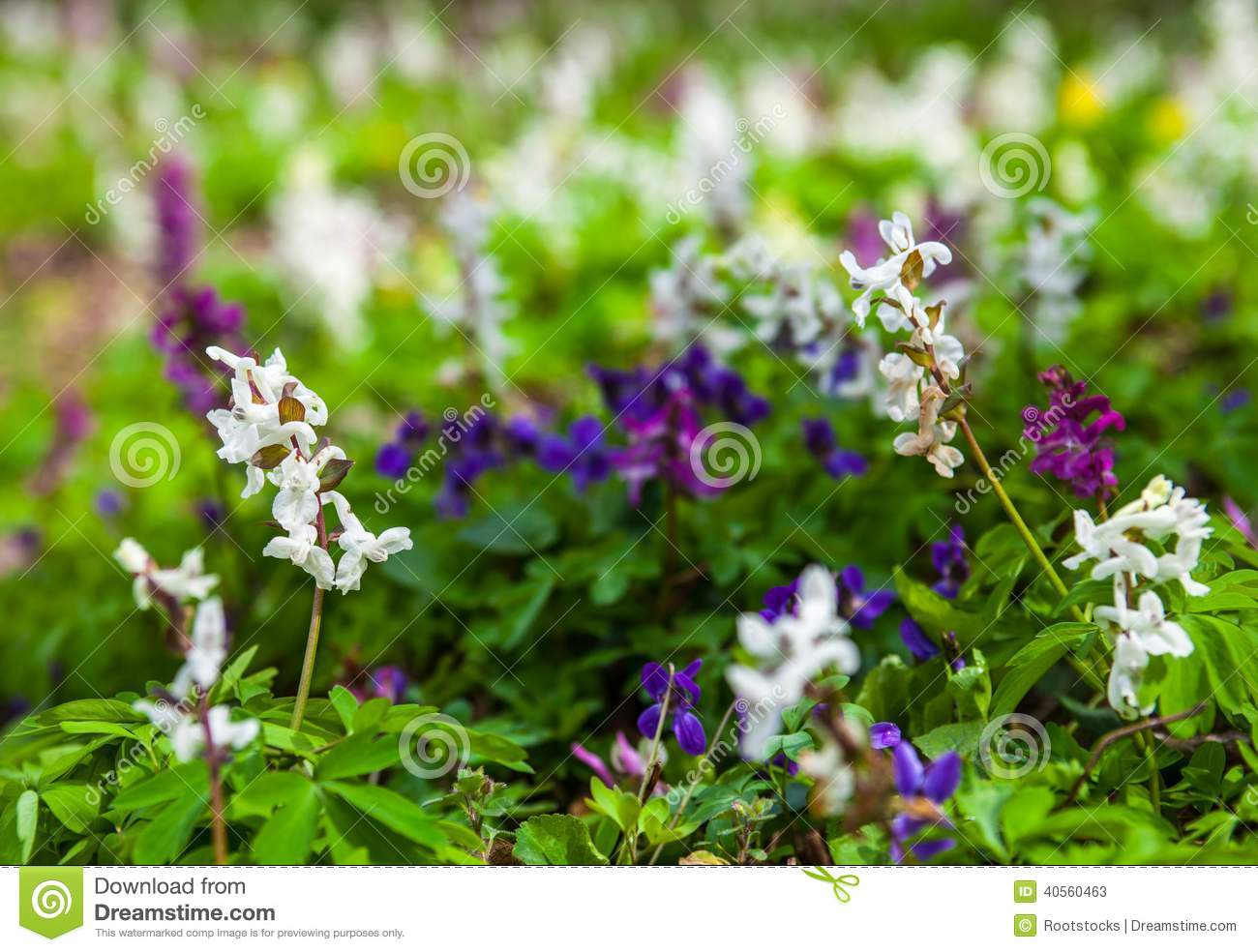 Meadow with corydalis flowers of different colors stock for What makes flowers different colors