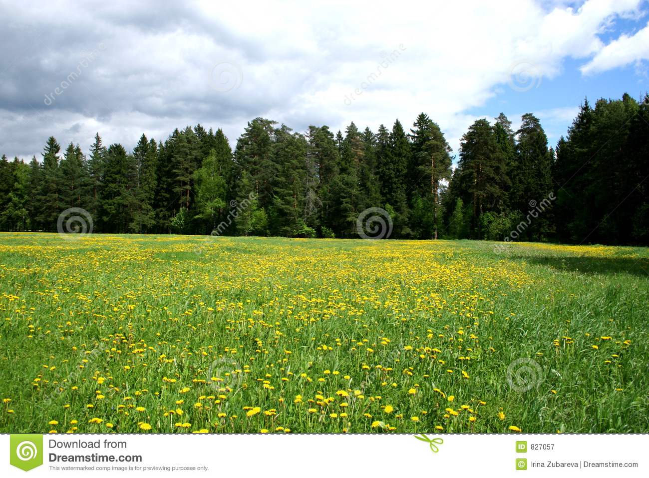 Meadow and dandelions.