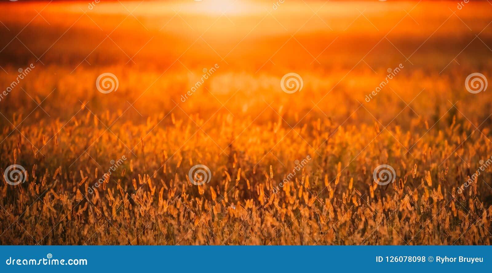 Meadow Grass In Yellow Sunlight Background. Autumn Season