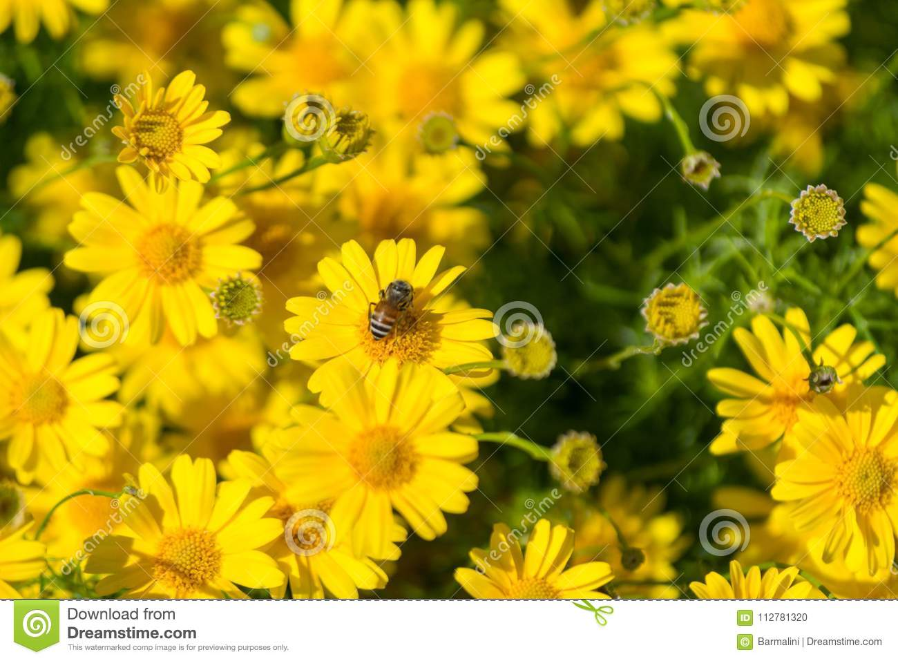 Meadow With Group Of Yellow Daisy Flowers Springtime In Garden