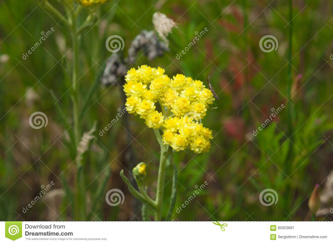 Meadow Herb Yellow Flowers Helichrysum Stock Image Image Of