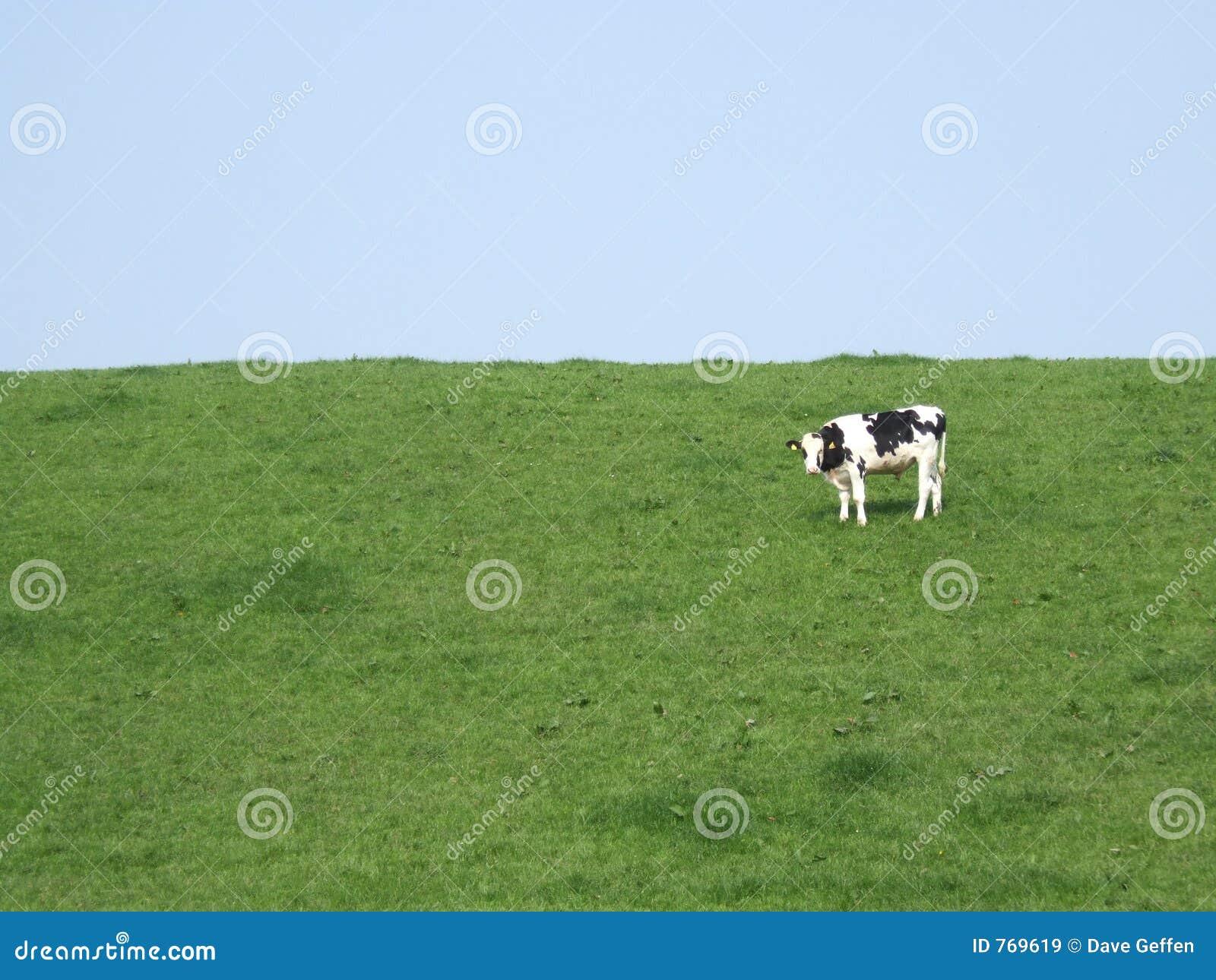 Meadow krowy