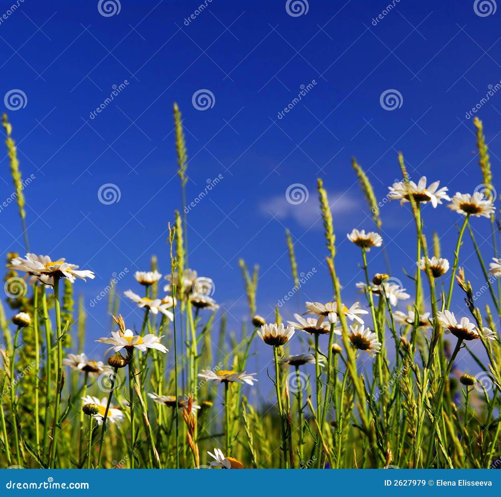 Meadow lato