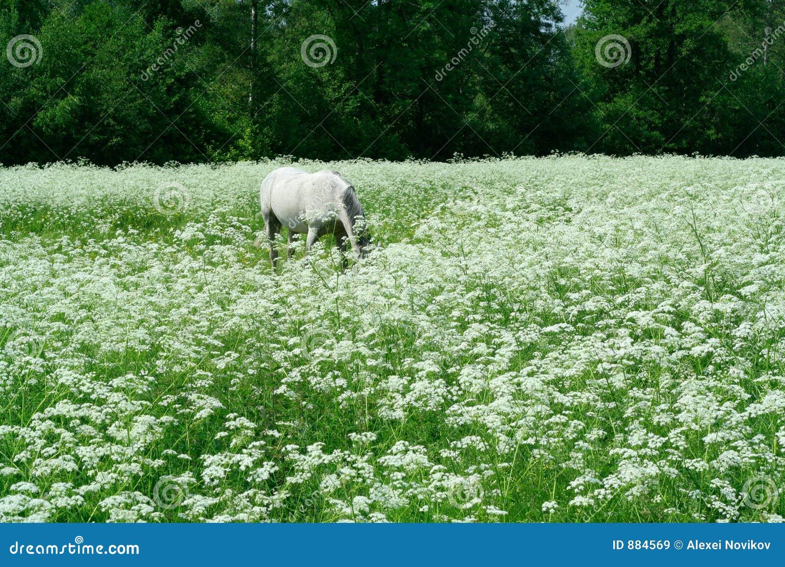 Meadow pastwiskowy white