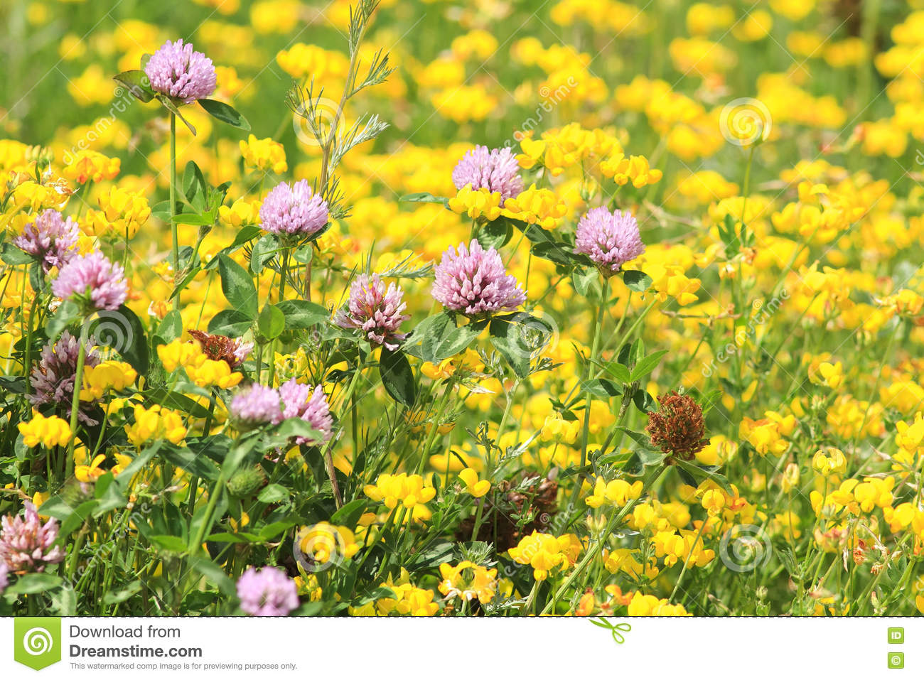 Meadow of pink clover and yellow flowers stock image image of download meadow of pink clover and yellow flowers stock image image of light natural mightylinksfo