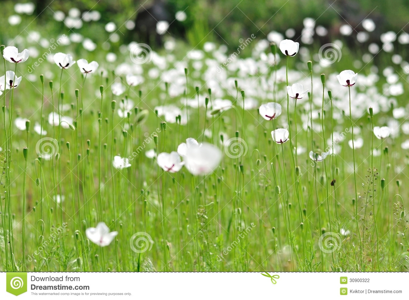 Meadow with white flowers in spring stock photo image of meadow with white flowers in spring horizontal farm royalty free stock photo download meadow with white flowers mightylinksfo