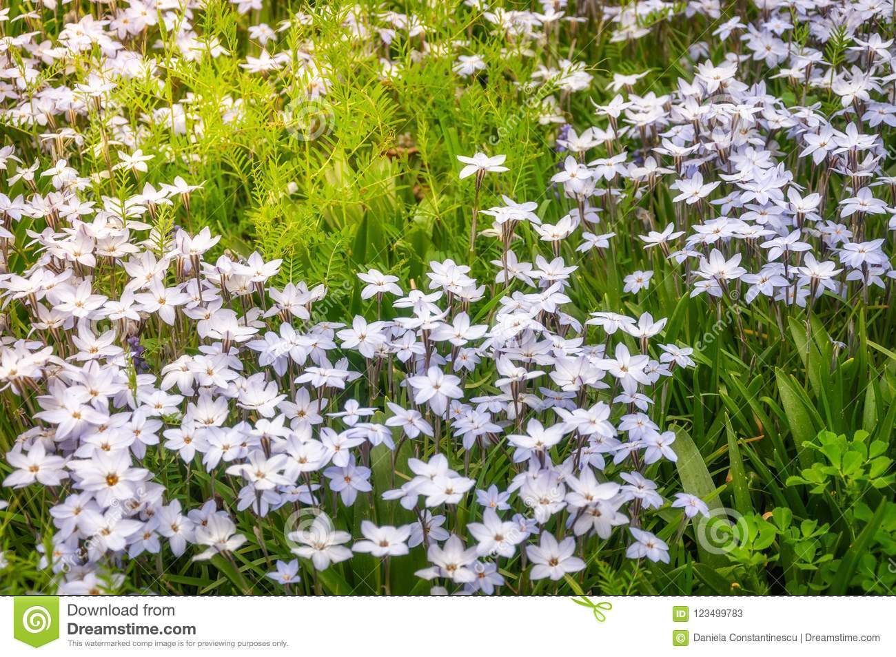Meadow With White Star Flowers Stock Image Image Of Background