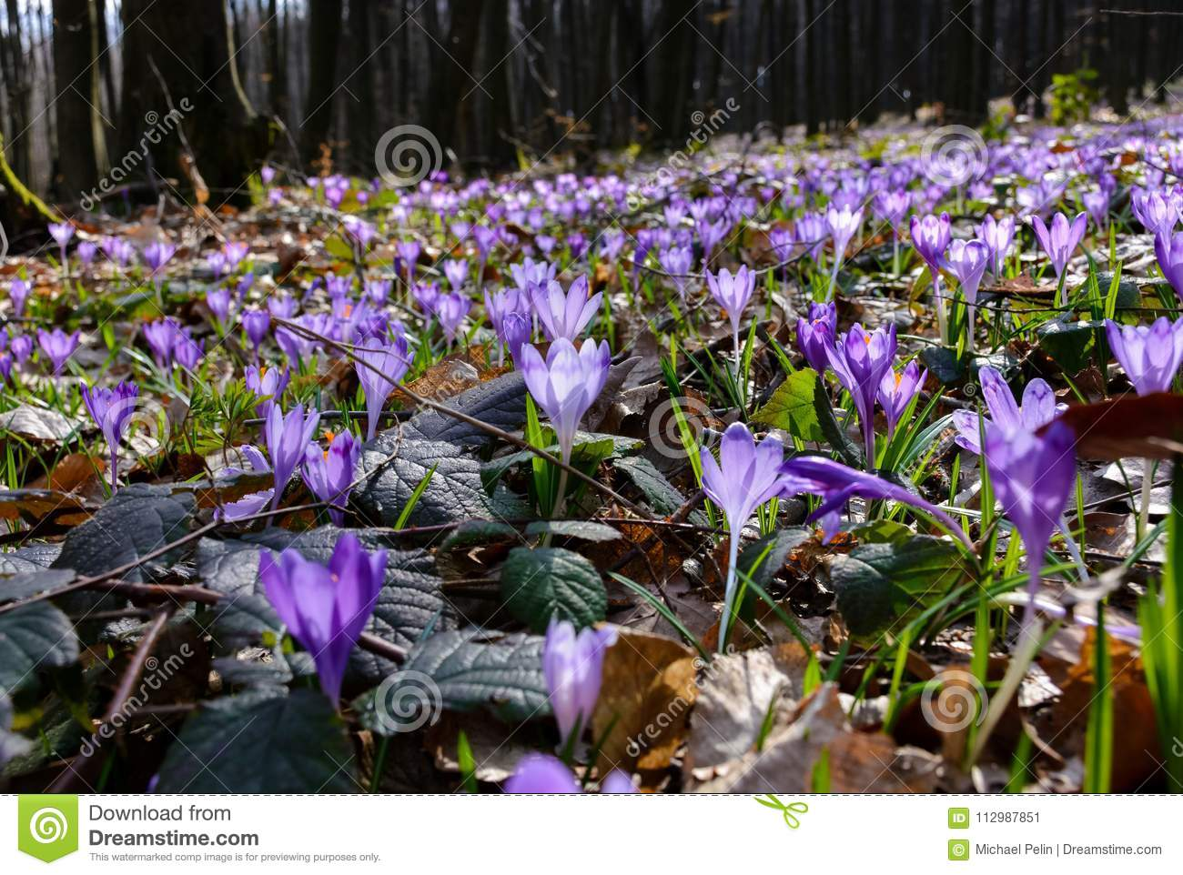 Meadow with wild crocuses in forest