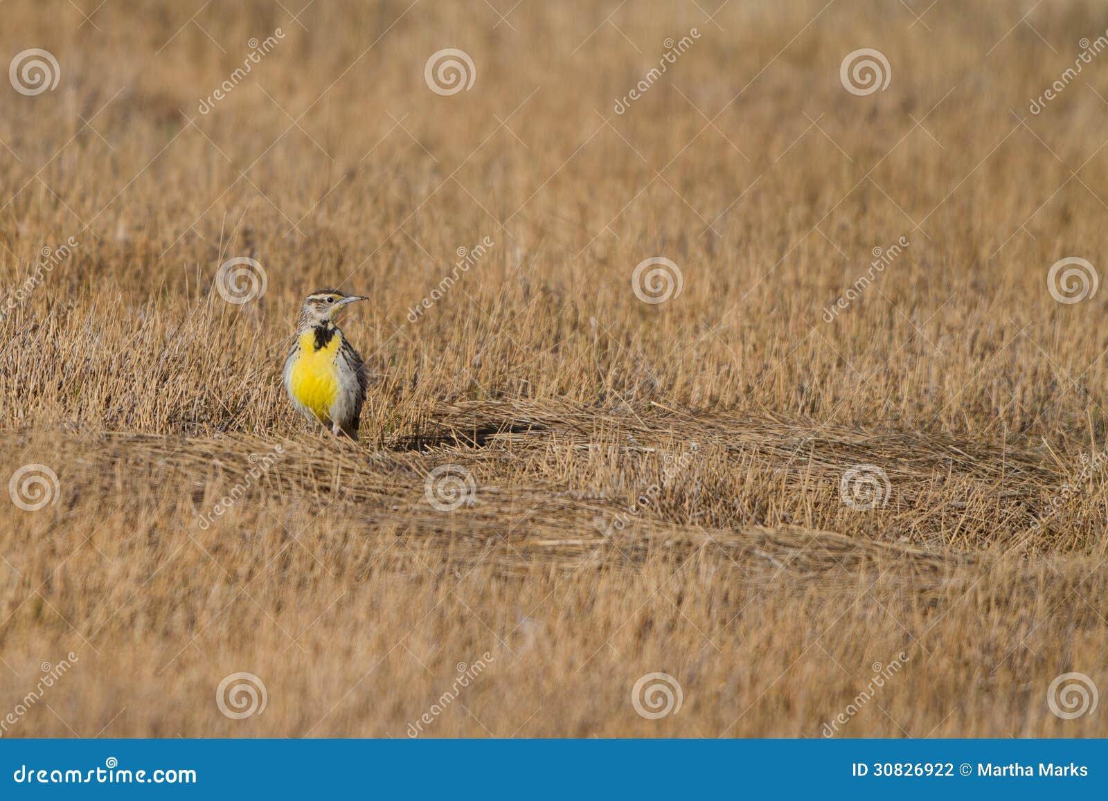 Meadowlark occidentale, neglecta dello Sturnella