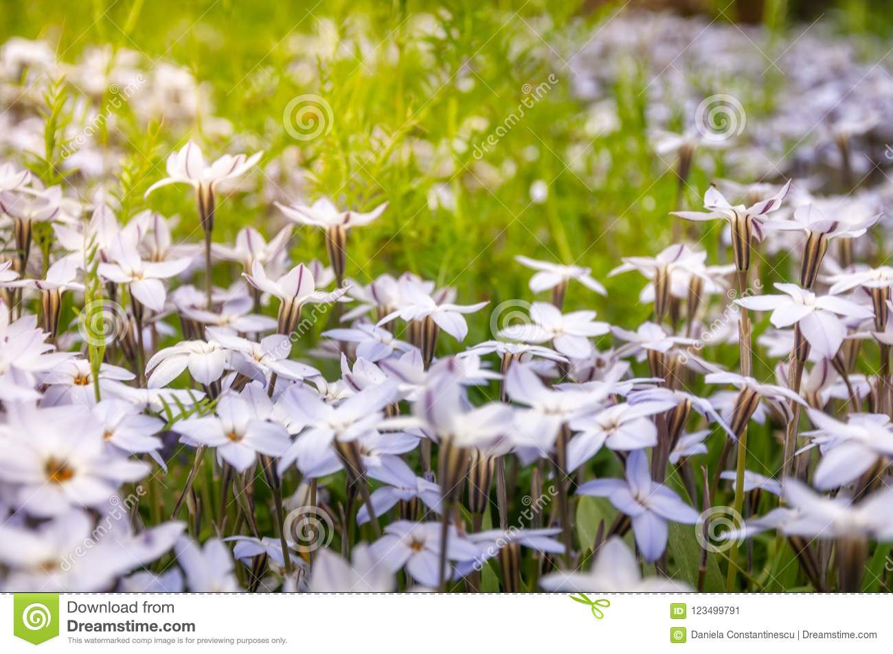 Meadows Close Up With White Star Flowers Stock Image Image Of Bush