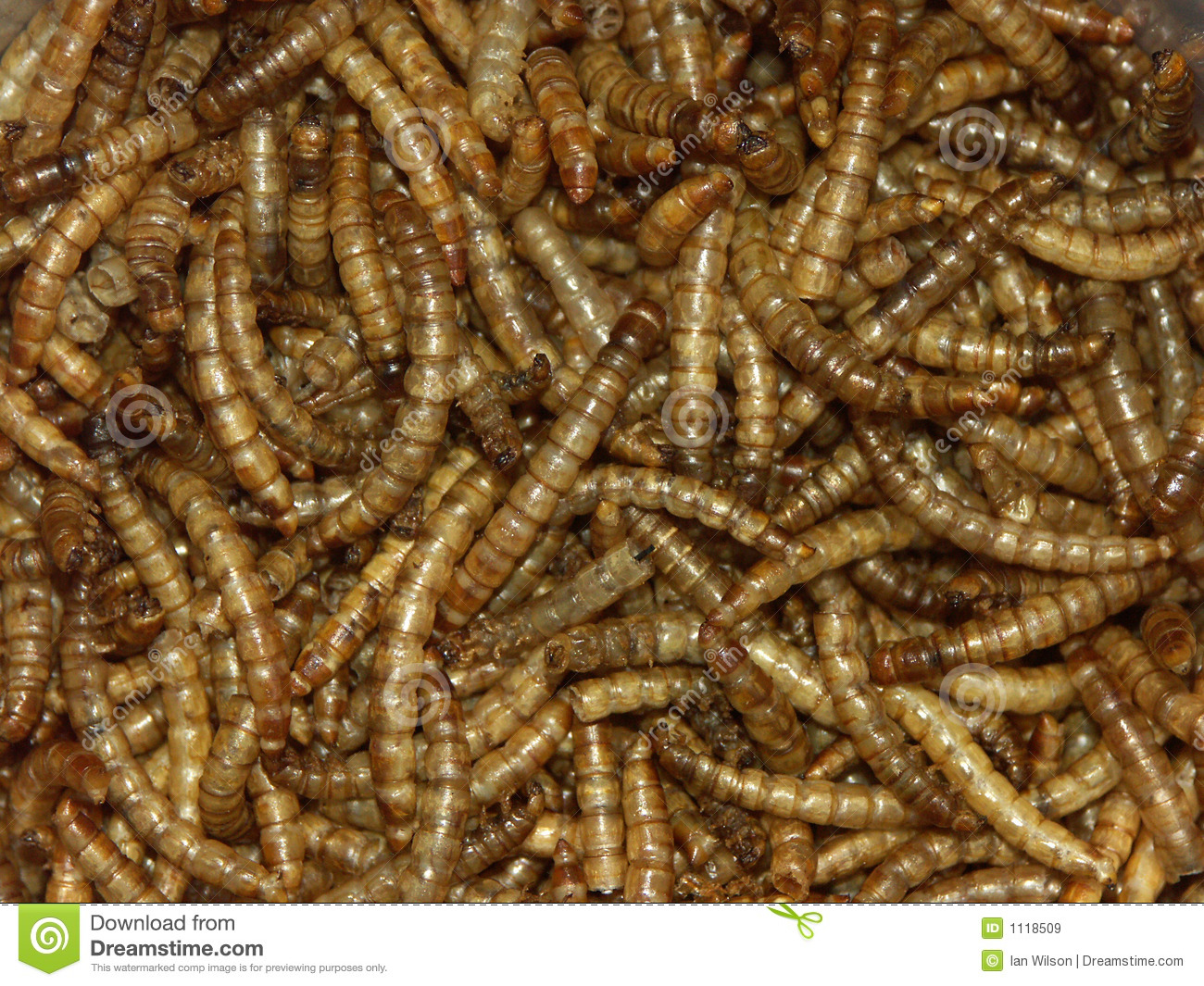 Mealworms royalty free stock images image 1118509 for Mealworms for fishing