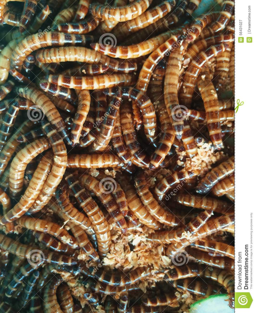 Mealworms stock photo image 56431027 for Mealworms for fishing