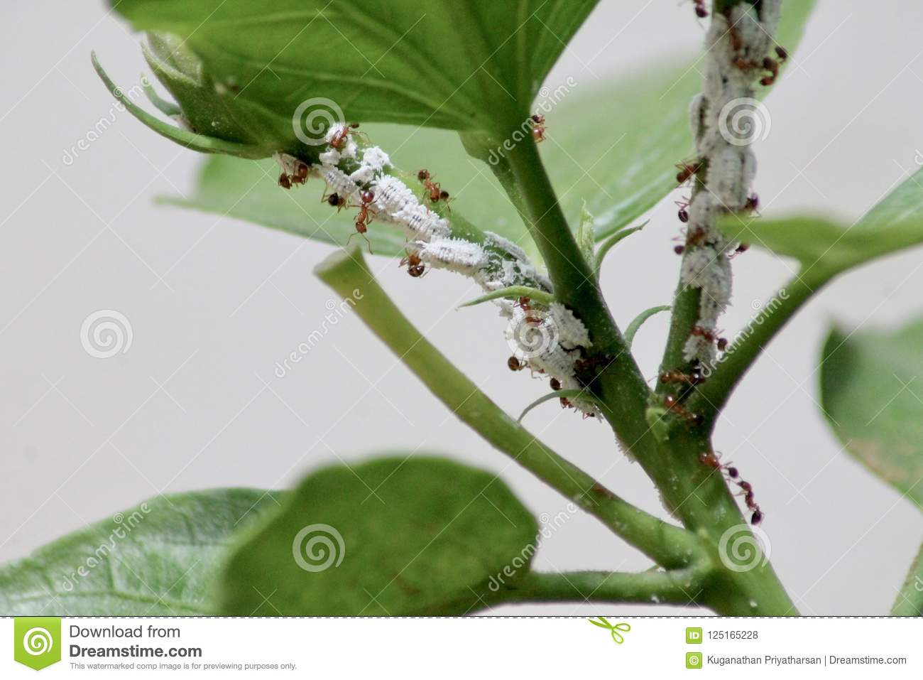 Mealybugs And Ants Stock Photo Image Of Leaf Hibiscus 125165228