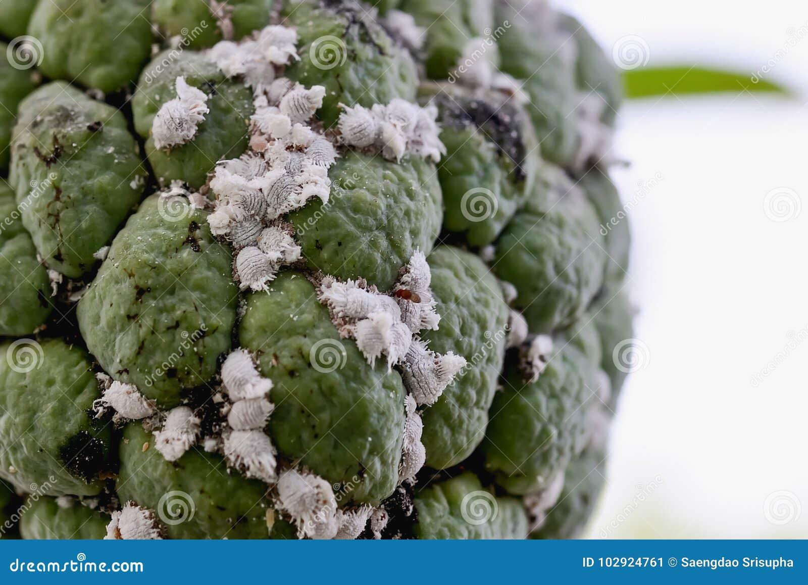 Flour moths stock image. Image of mealybugs, aphids ... - photo#8