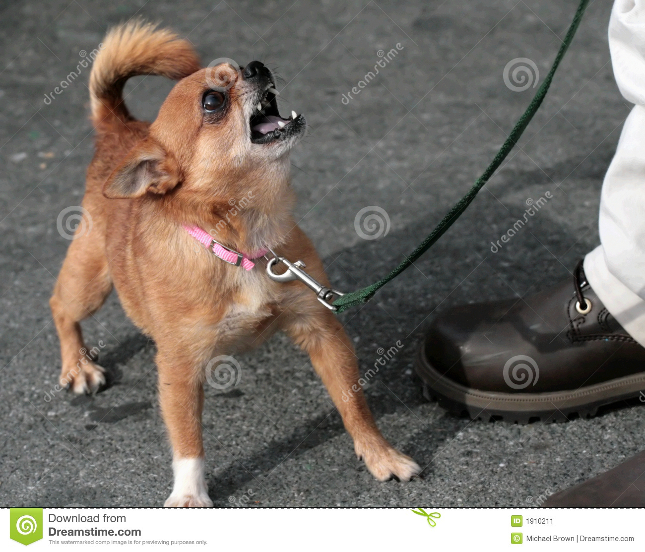 Mean Chihuahua Stock Image - Image: 1910211