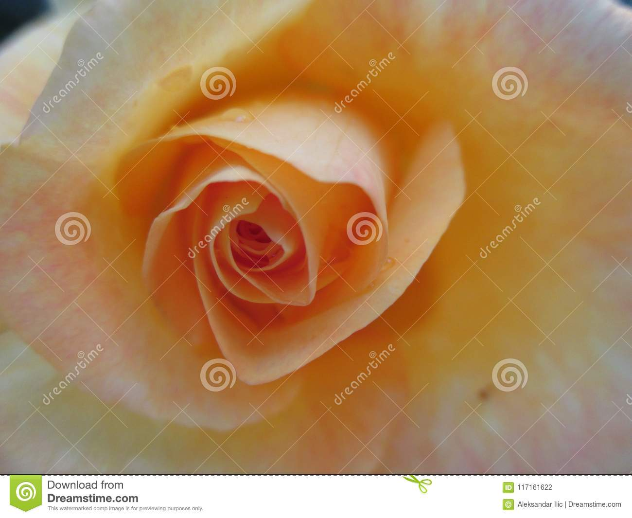 The Yellow Rose Ii Stock Photo Image Of Romantic Florist 117161622