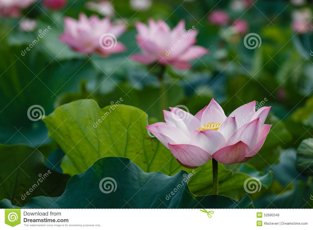 The meanings of lotus stock photo image of garden clean 52680346 the lotus plant serves many uses in addition to being associated with hinduism and buddhism it is representative of creation enlightenment and purity mightylinksfo
