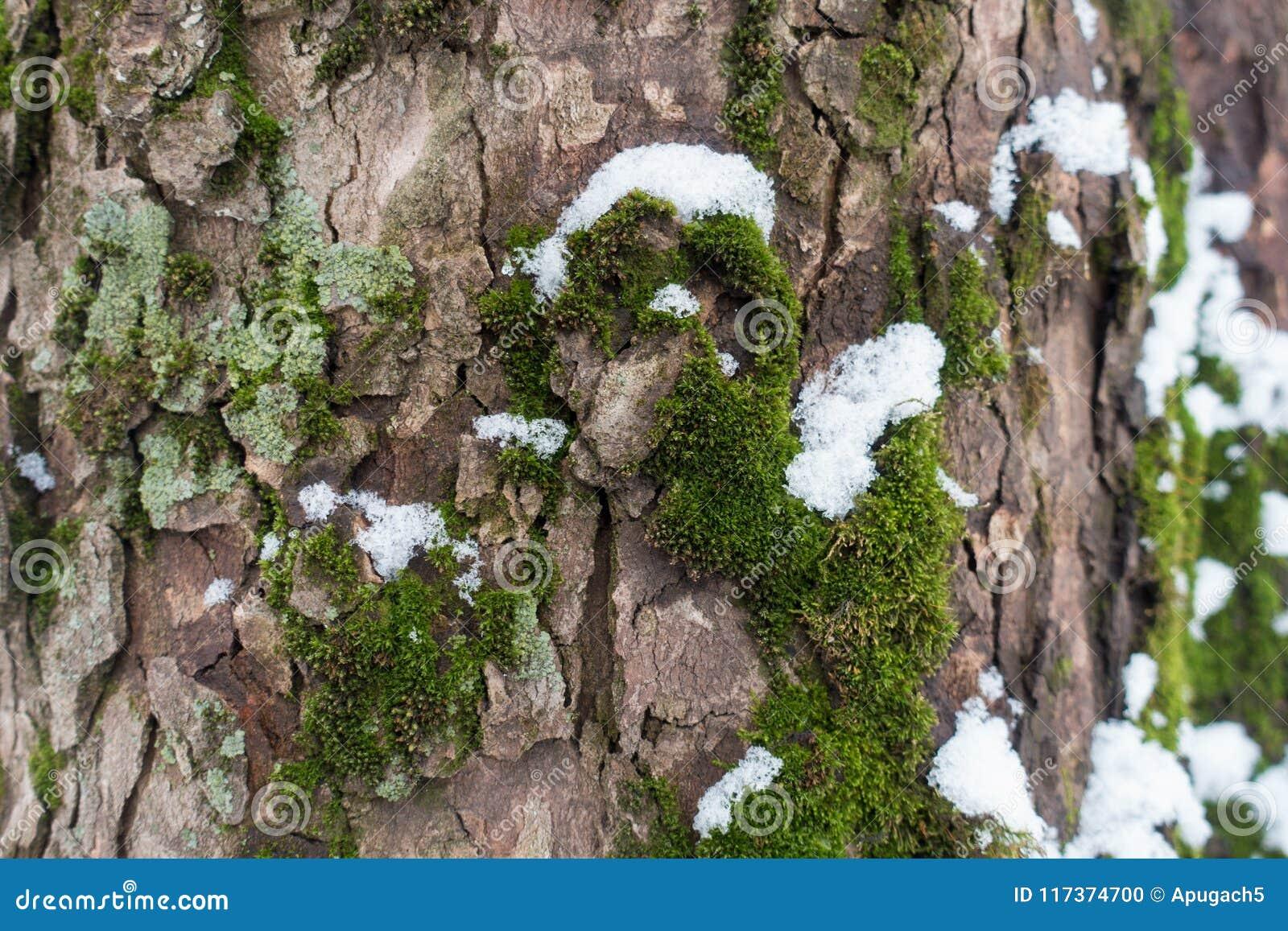 Mech, liszaj i śnieg na drzewnej barkentynie,