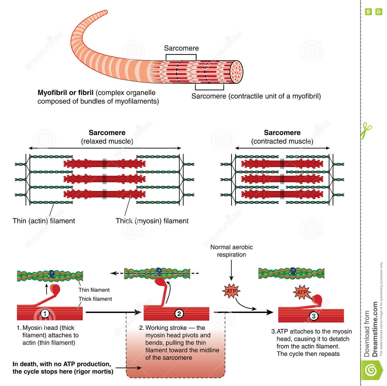 Muscle Contraction Stock Illustrations 1 156 Muscle Contraction Stock Illustrations Vectors Clipart Dreamstime