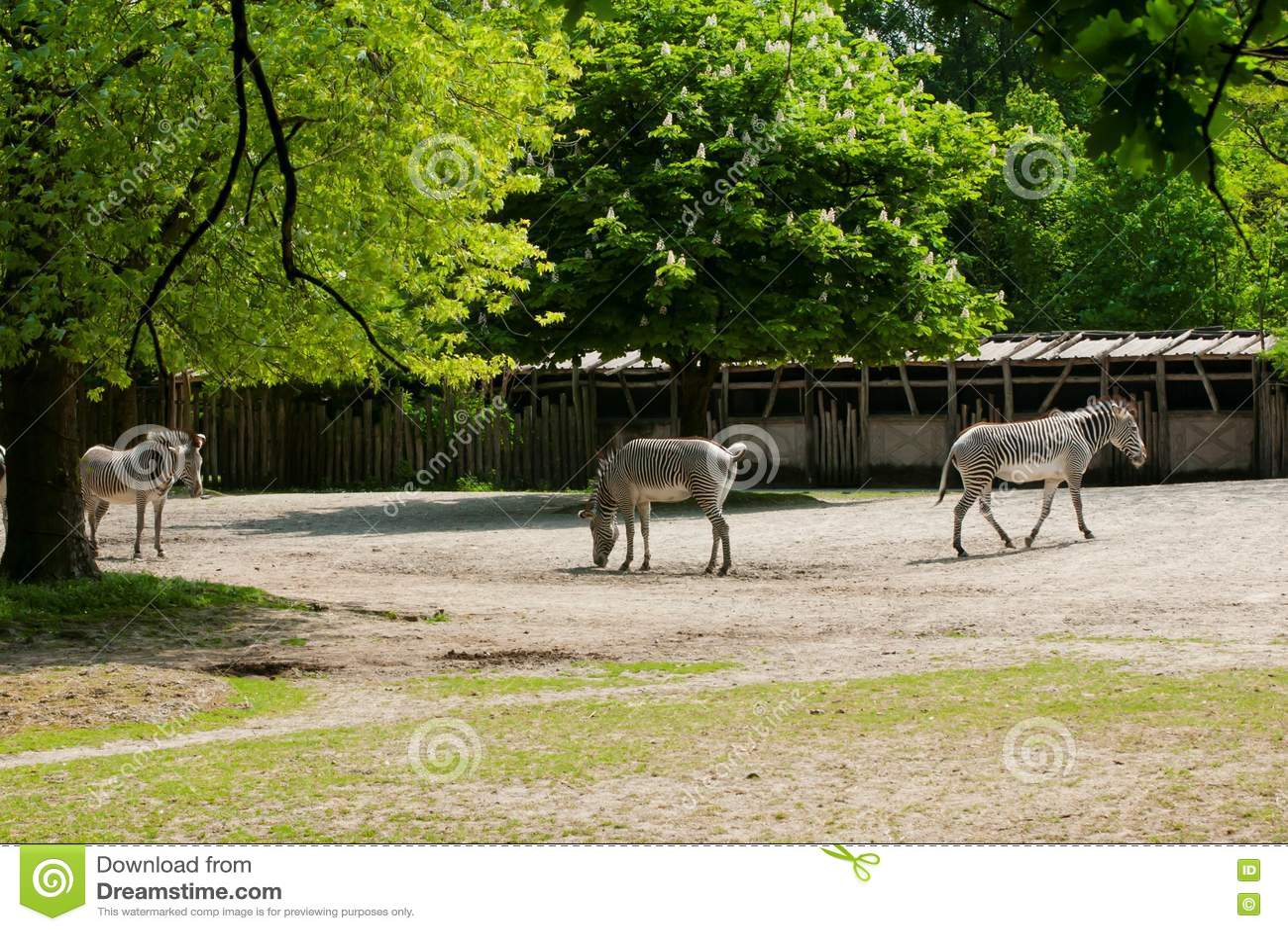 Mechelen, België - 17 Mei 2016: Zebras in Planckendael-dierentuin