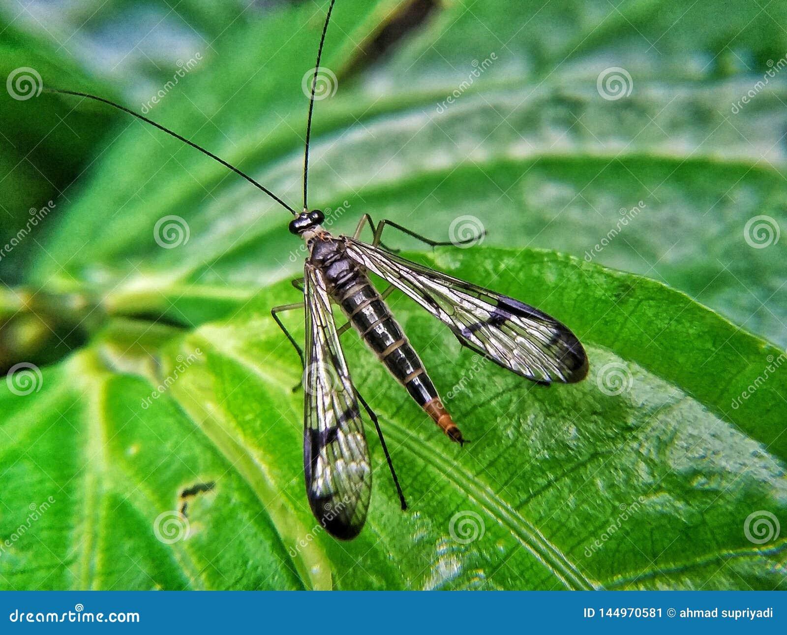 Mecoptera lub scorpionflies kłaść na zielonym liściu
