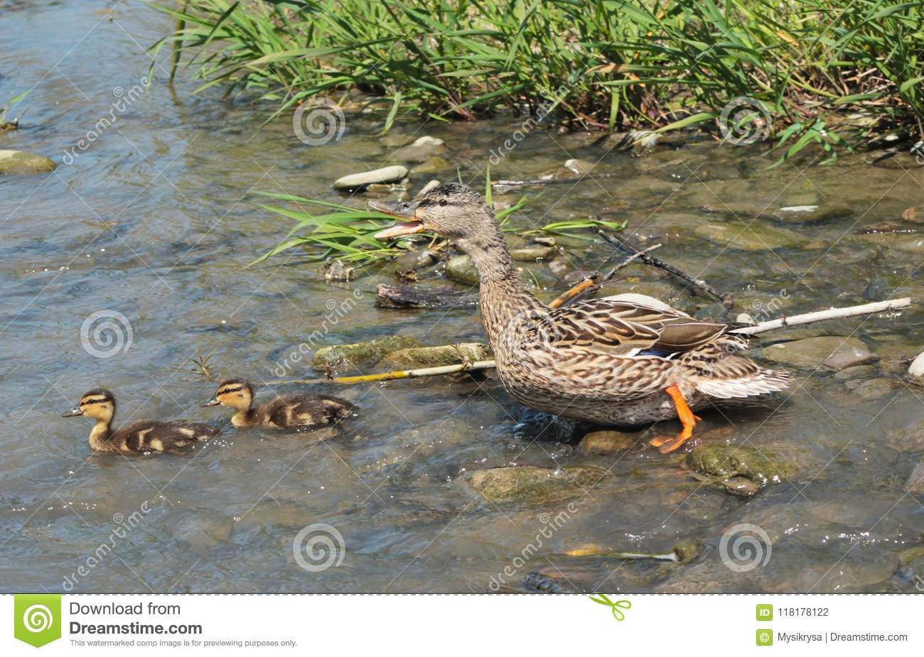 And med ducklings