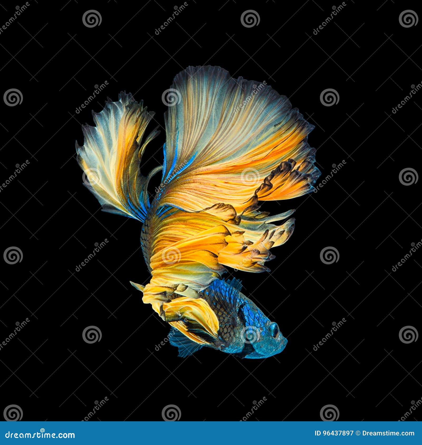 Media luna amarilla azul Betta o interruptor siamés de la cola larga de los pescados que lucha