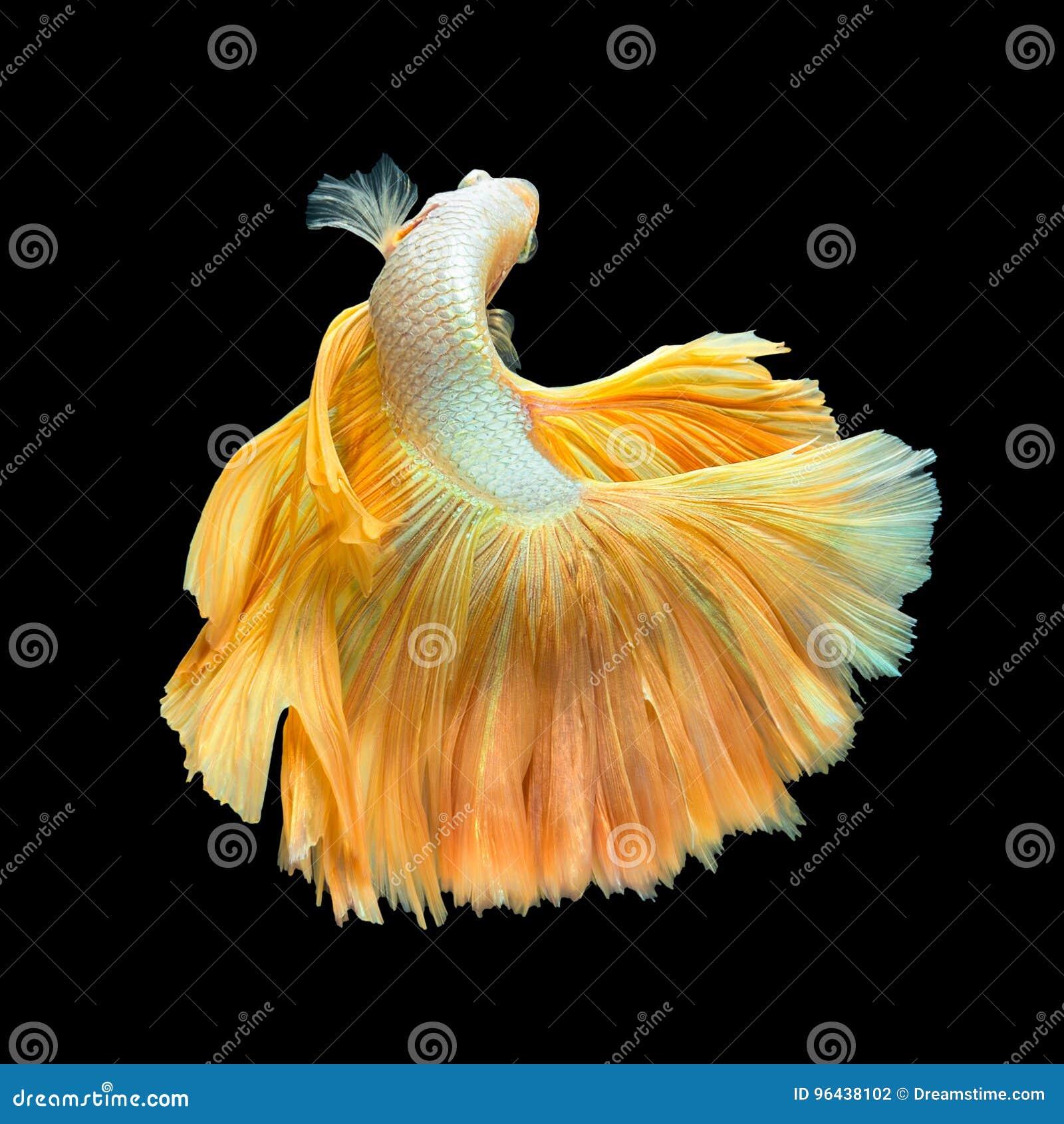 Media luna de oro Betta de la cola larga o pescados que luchan siameses Swimmin