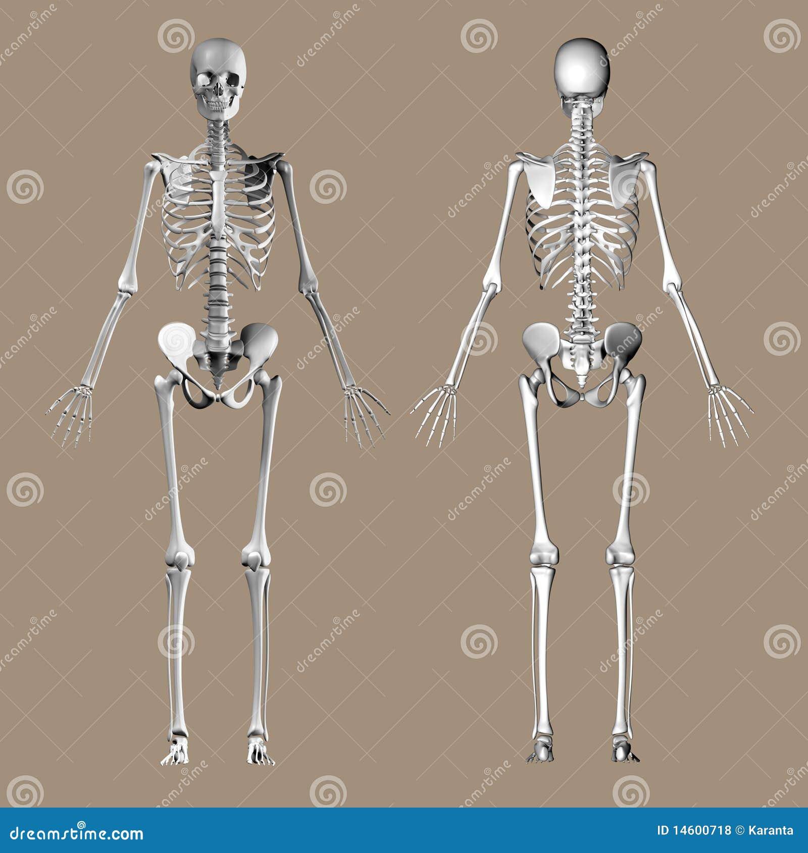 Medical 3D Render Of A Female Skeleton Stock Illustration ...