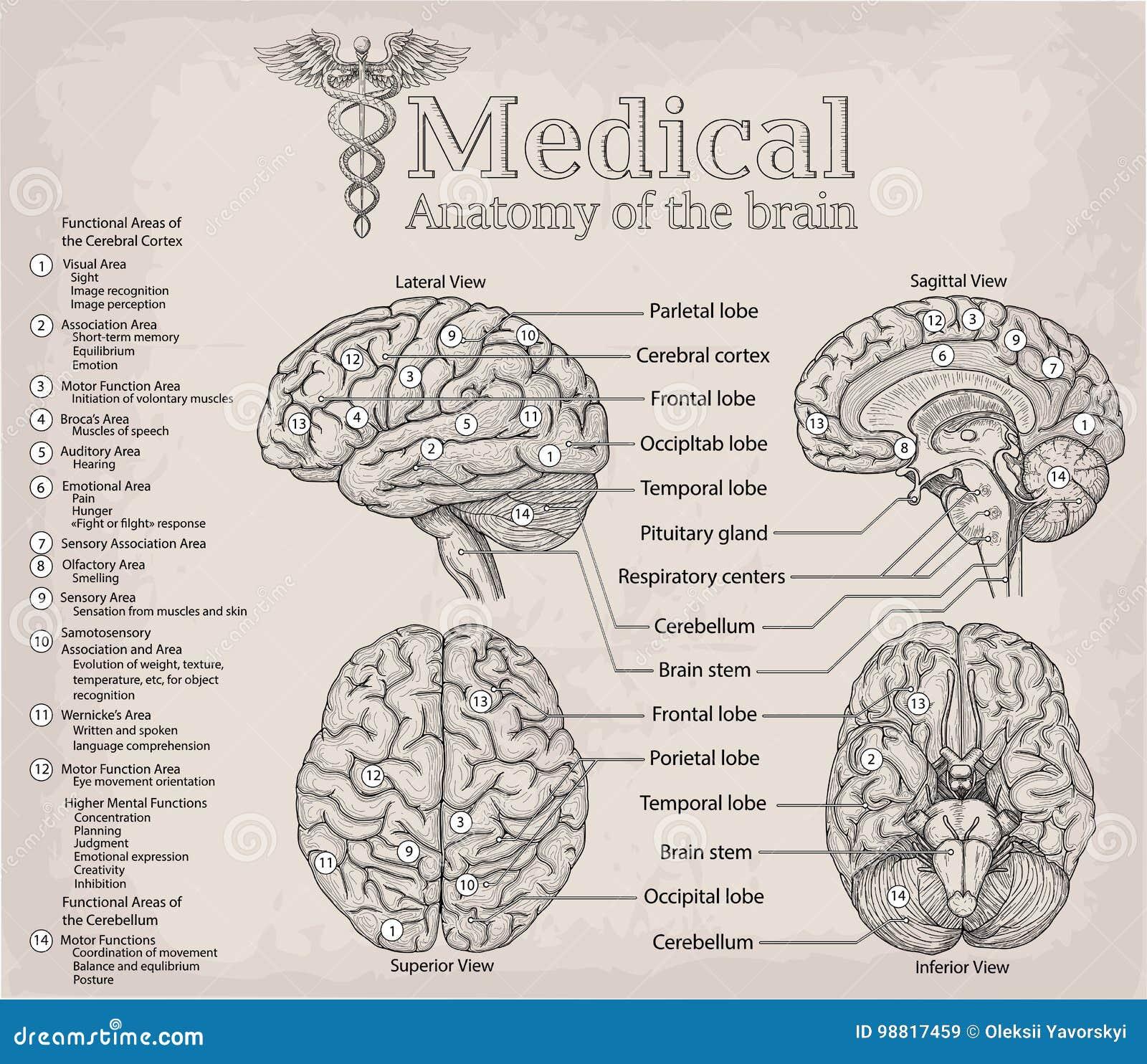 Medical Anatomy Of Human Brain. Medicine, Vector Illustration Po ...