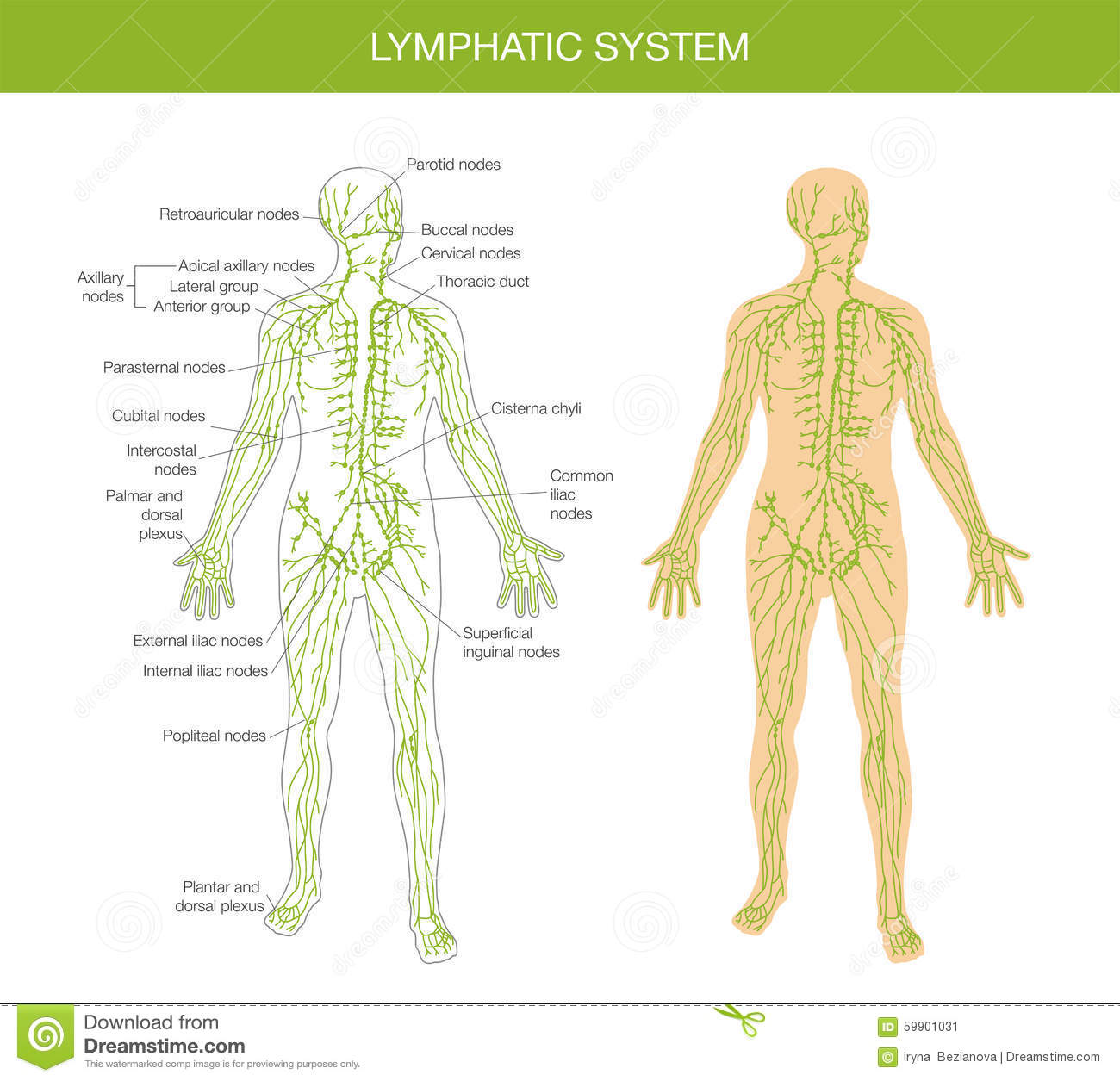 Medical Description Of The Lymphatic System Stock Vector ...