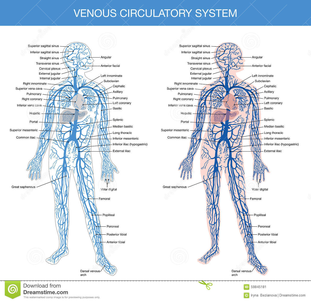 Medical Description Of The Venous System Of Blood Stock