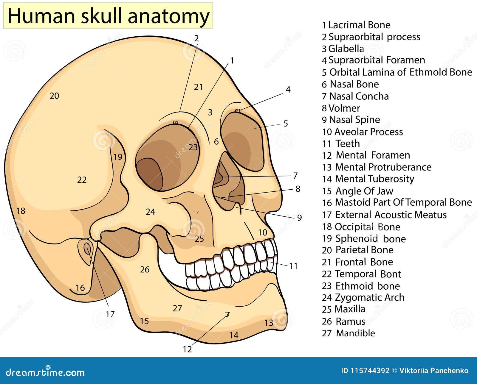 Medical Education Chart Of Biology Human Skull Diagram. Vector ...