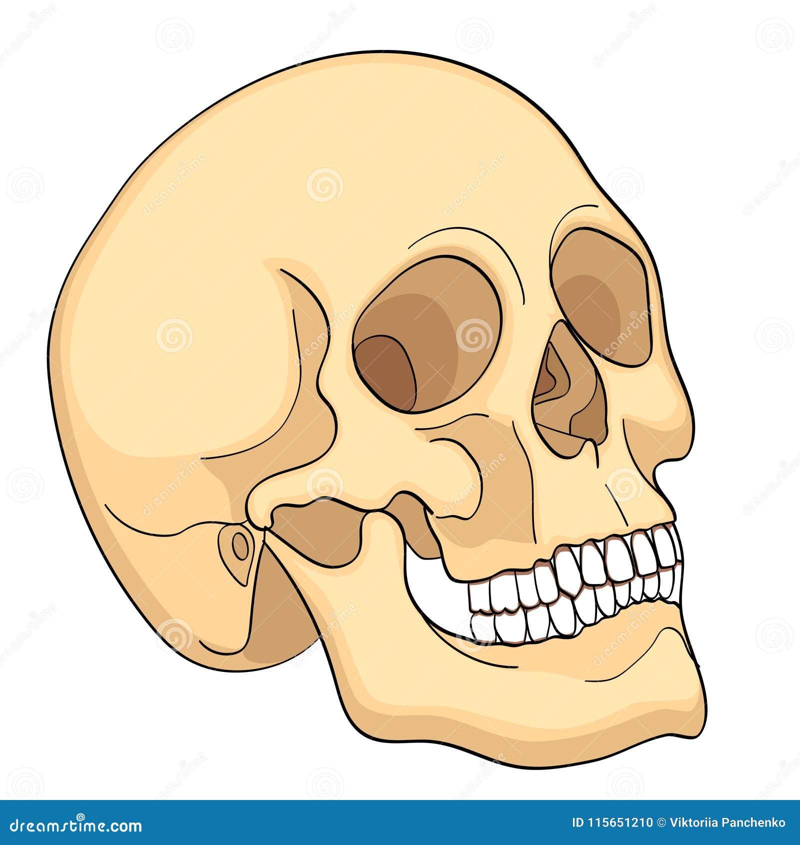 Medical Education Chart Of Biology Human Skull Diagram Vector