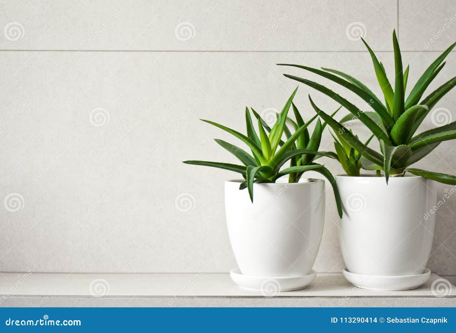Medical herb aloe vera in pots on bathroom shelf