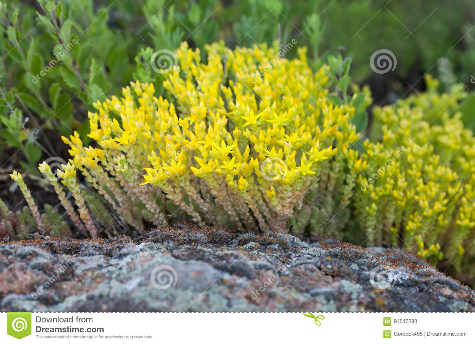 Medical Herb Sedum Acre Goldmoss Mossy Stonecrop Yellow Flowers