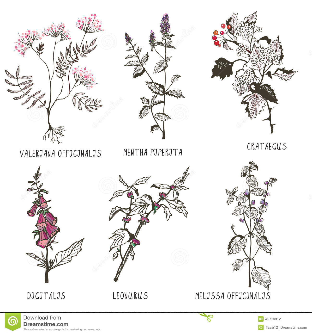 Medical Herbs For Heart Problems And Cardiology Stock Vector
