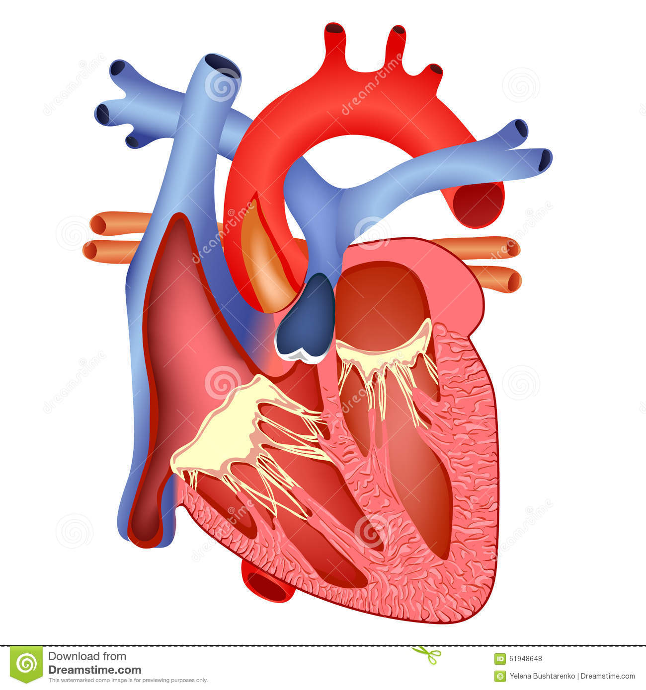 www human heart structure com