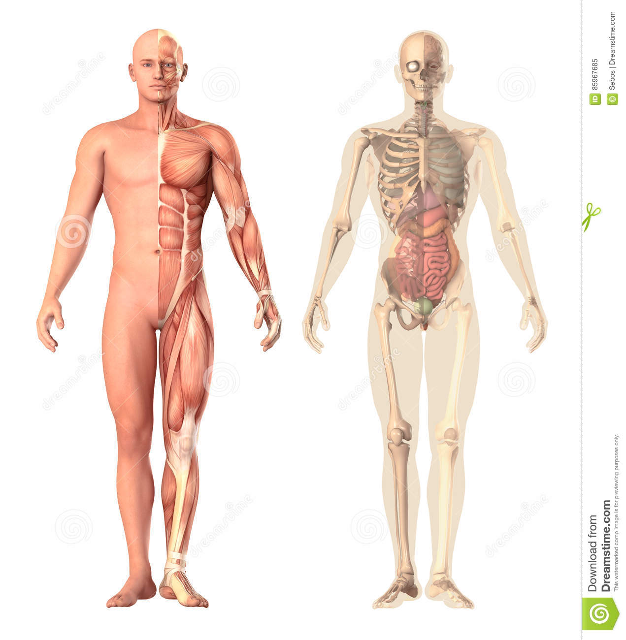 Medical Illustration Of A Human Anatomy Transparency View The