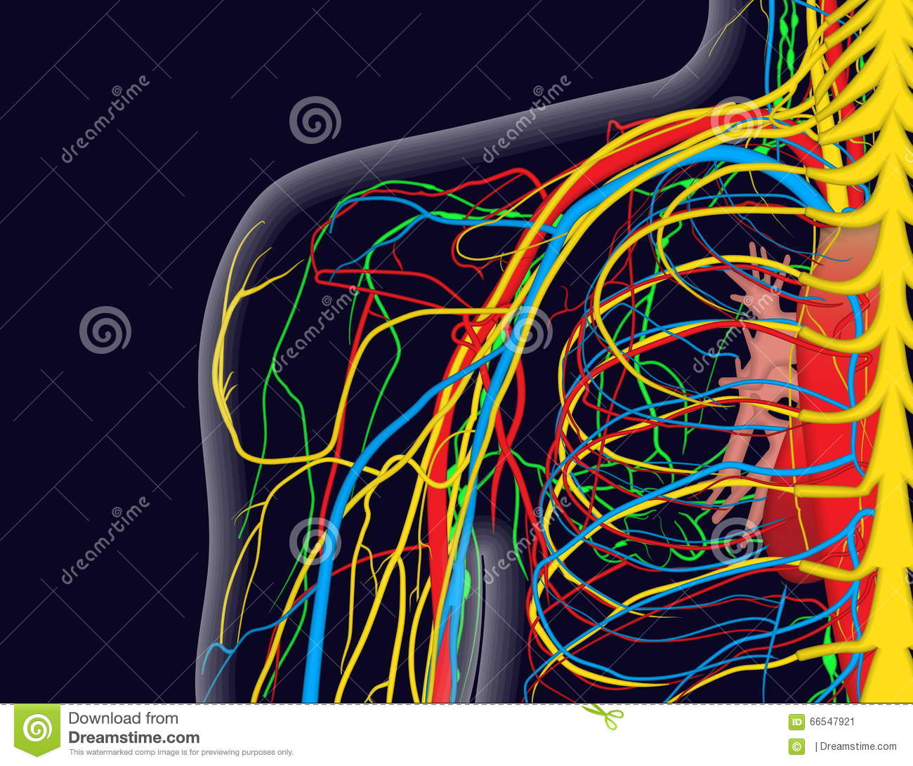 Medical Illustration Of The Shoulder Anatomy With Nerves, Veins And ...