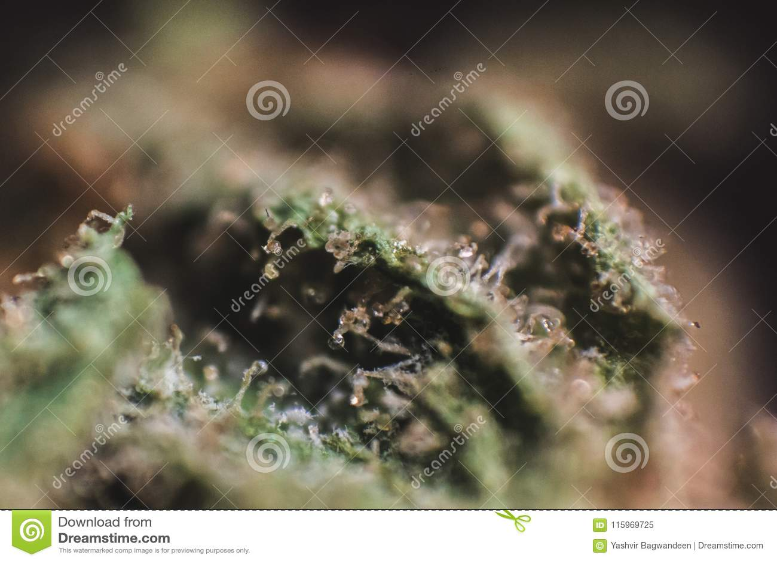 Medical Marijuana, Cannabis, Sativa, Indica, Trichomes, THC, CBD