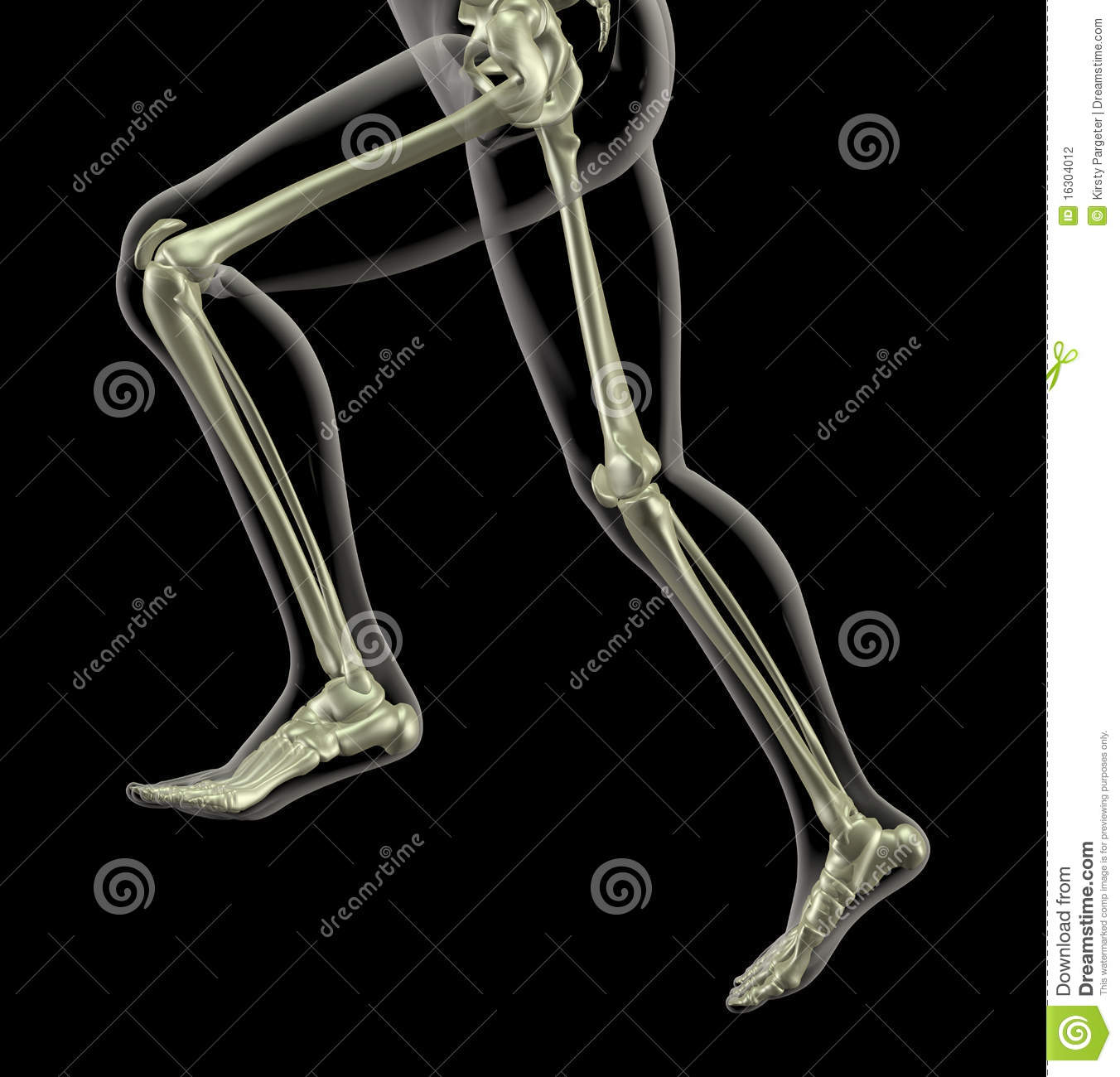 medical skeleton in running motion stock photography - image: 16304012, Skeleton