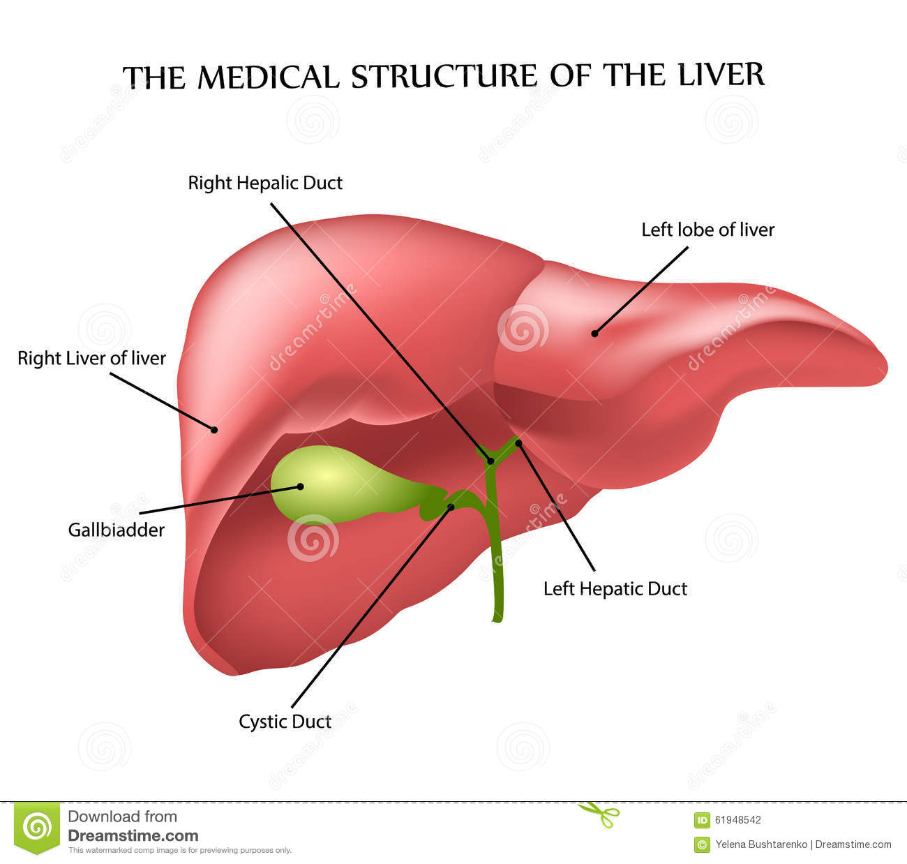 Medical Structure Of The Liver Stock Vector Illustration Of