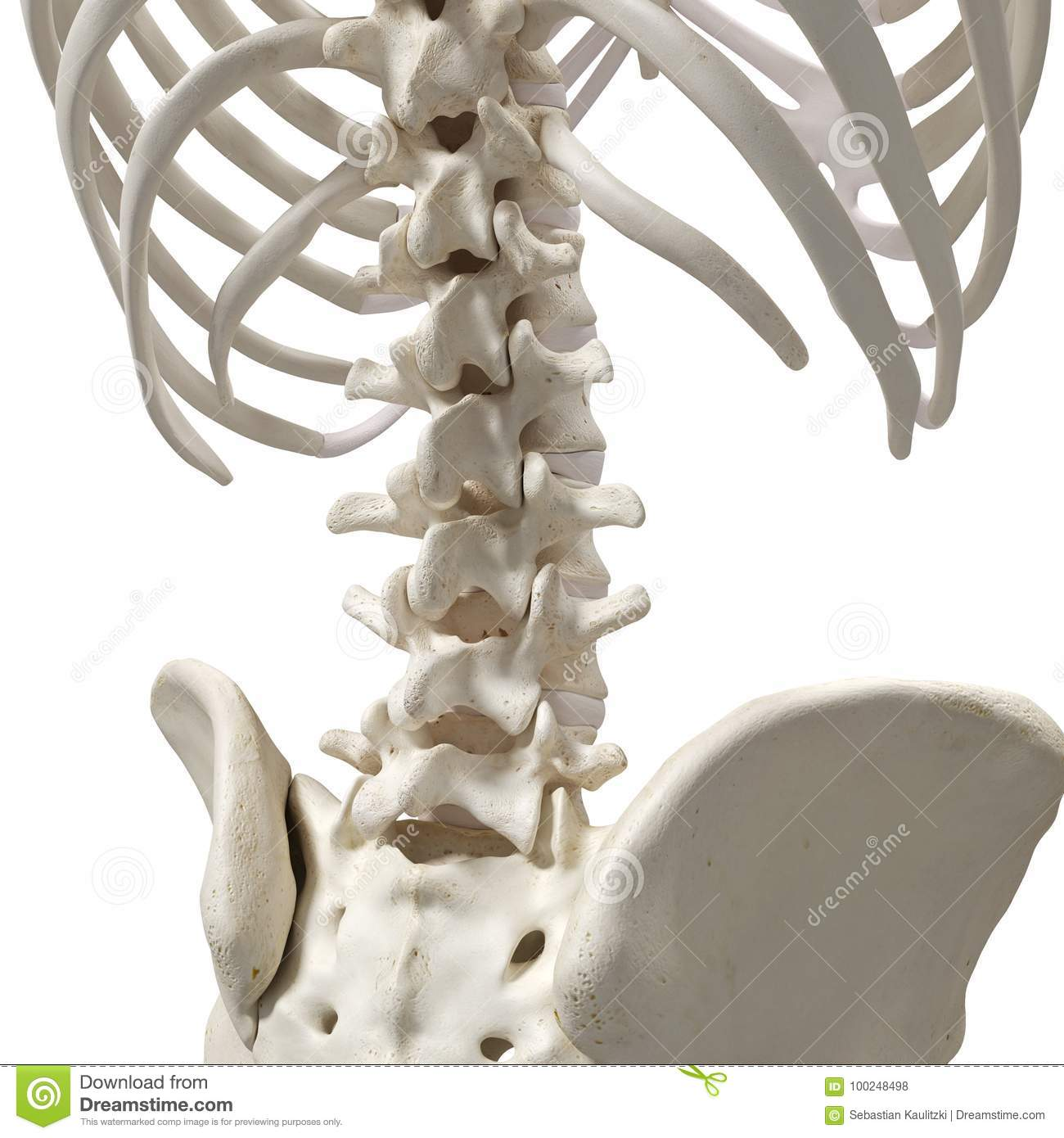 The Lumbar Spine Stock Illustration Illustration Of Accurate